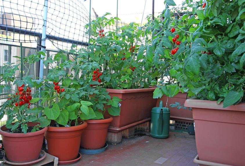 Tomates en pot sur une terrasse
