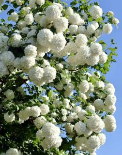 Viorne boule de neige - viburnum opulus