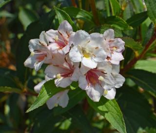 abelia arbuste