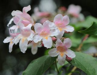 abelia en fleur