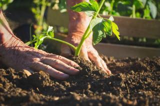bien planter une tomate