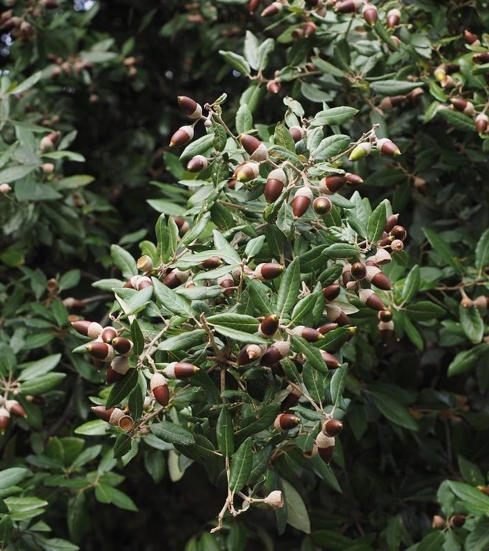 Ch ne vert plantation taille et conseils d 39 entretien - Maladie du chene vert arbre ...