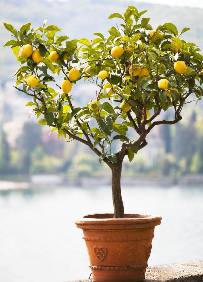 citronnier en pot conseils