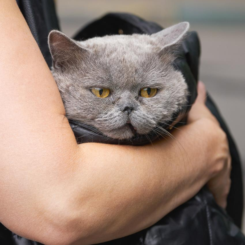 coryza du chat