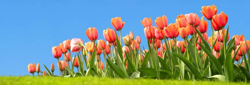 massif de tulipe