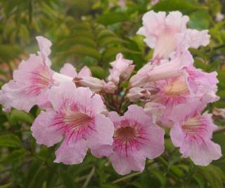 pandorea jasminoides rose