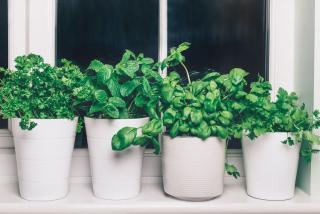 plantes aromatiques pour rebord de fenetre