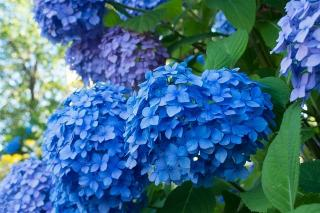 plantes fleur bleu