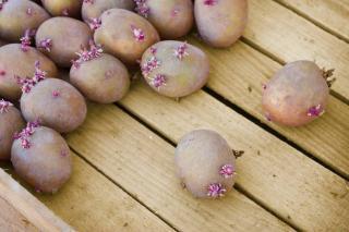 pomme de terre germee