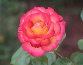 rose parfum de Grasse