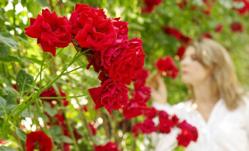 rose tres parfumee