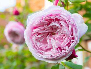 rosier parfume david austin