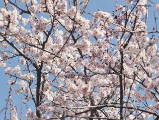 Arbre qui fleurit au printemps