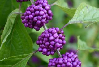 Arbuste Fleurs violettes