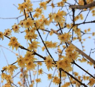 Arbuste a fleurs hiver