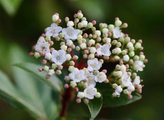 Arbuste qui fleurit automne