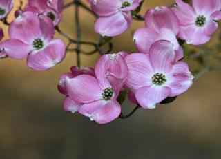 Arbustes a fleurs rose au printemps