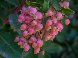 Arbustes a fleurs rose automne
