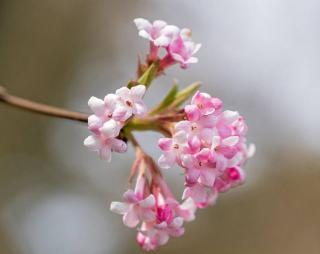 Arbustes a fleurs rose en hiver