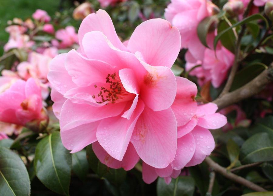 Arbustes a fleurs rose