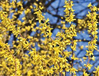Arbustes qui fleurissent au printemps
