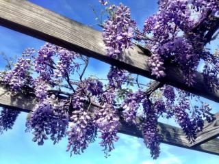 Glycine entretien wisteria