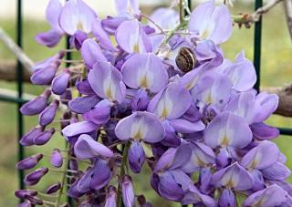 Grimpante Fleurs violettes