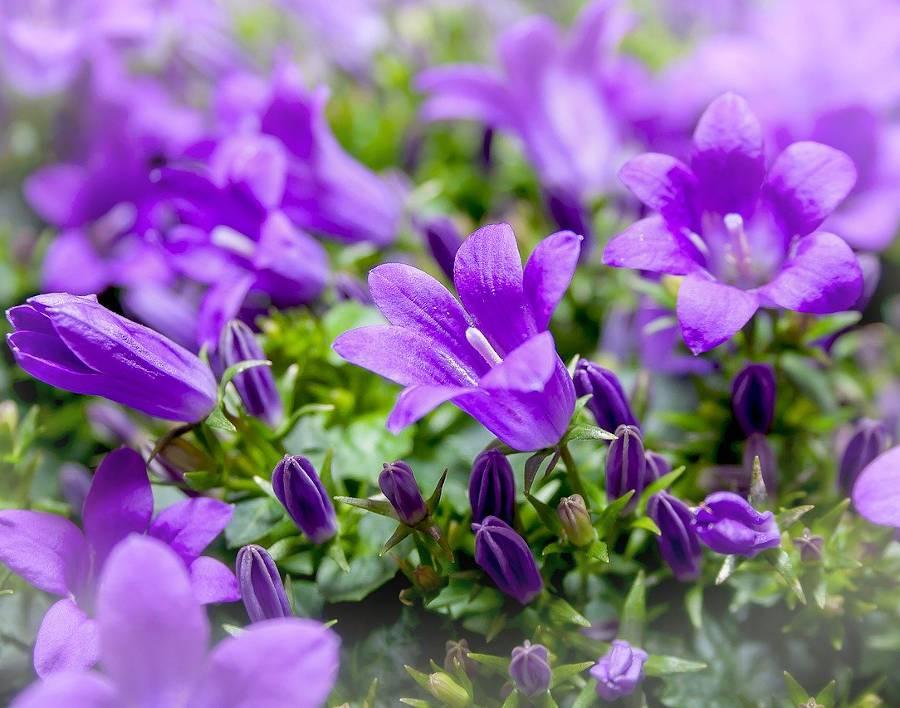 Jardin Fleurs violettes