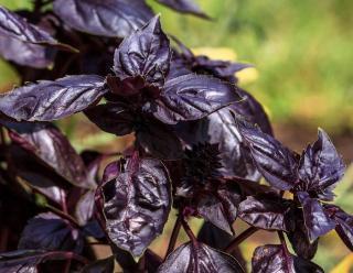 Plante feuille noire