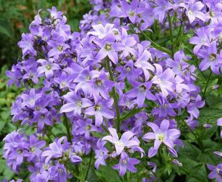 Plantes Fleurs violettes