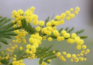 arbre fleur jaune