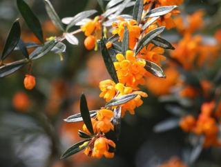 arbuste Fleurs oranges