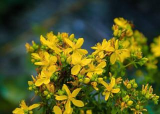 arbuste fleur jaune