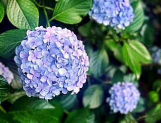arbuste massif fleur ete