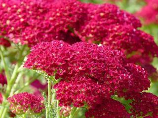 fleurs vivaces rouge