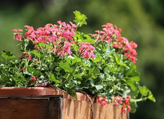 geranium en jardiniere en fleur
