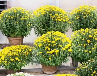 jardiniere chrysantheme automne