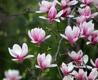 magnolia terre de bruyere