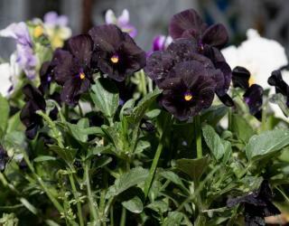 pensee fleur noire viola