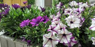 plante pour jardiniere violet fleur violette