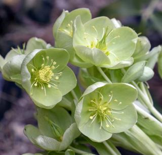 plante qui fleurit en hiver