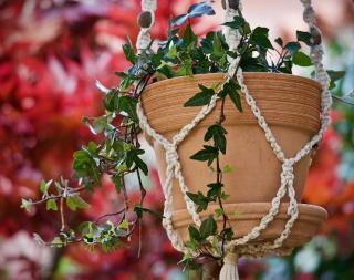 plante retombante persistante qui ne perd pas ses feuilles