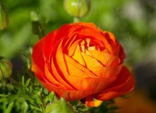 plantes Fleurs oranges