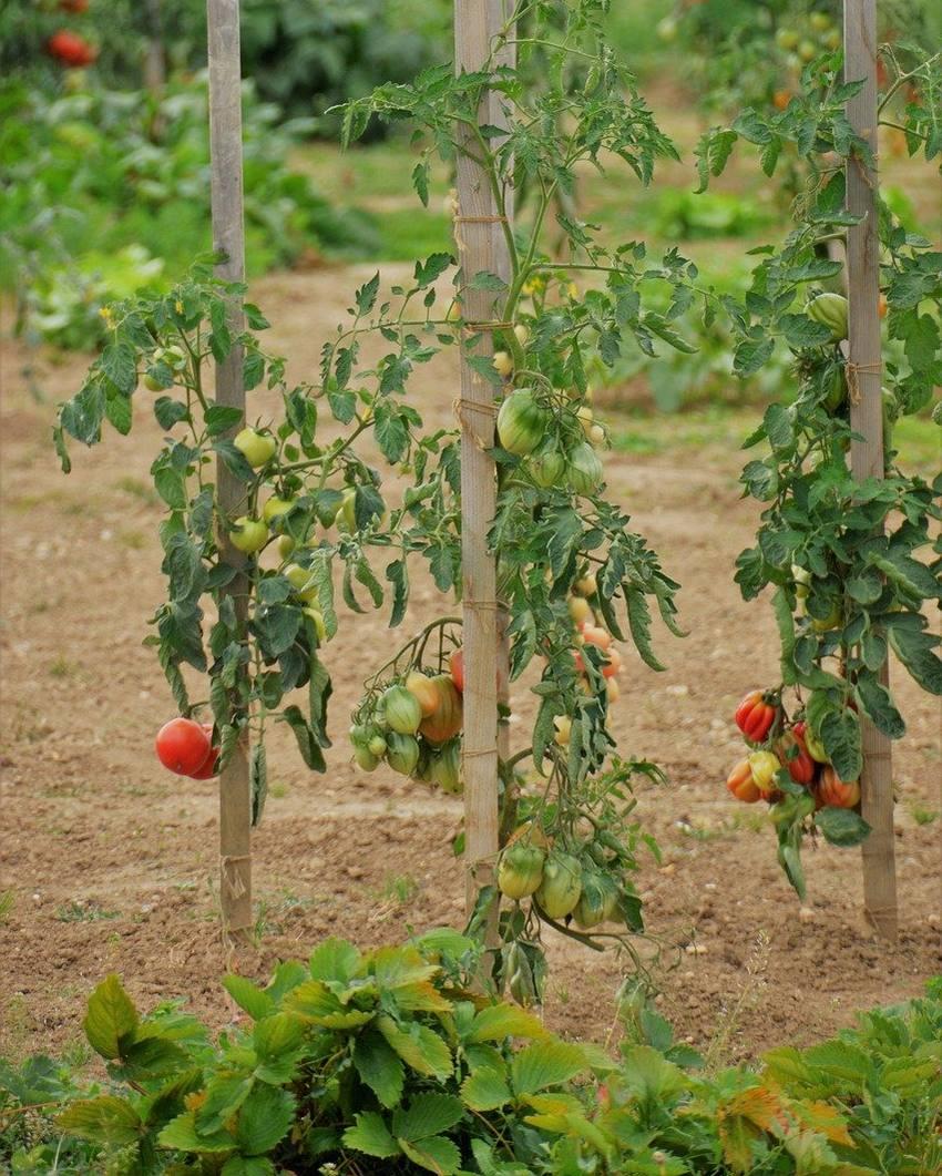 Tomate Cœur De Bœuf Semis Plantation Et Entretien