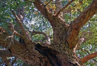 tronc du quercus suber - chene liege
