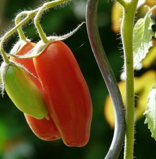 tuteur spirale tomate
