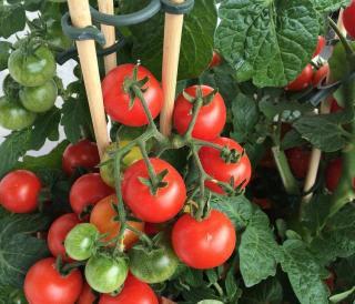 tuteur tomate