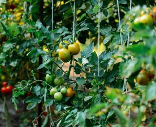 tuteur tomate avec fil corde