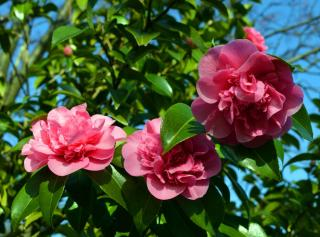 Camellia japonica - camelia du japon