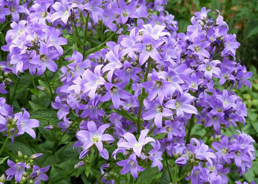 Fleurs bleu jardin